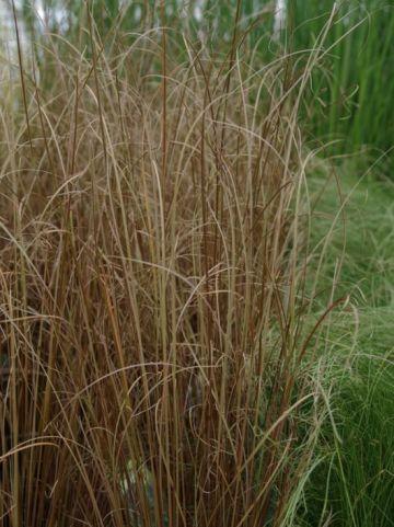 Carex buchananii  - Zegge