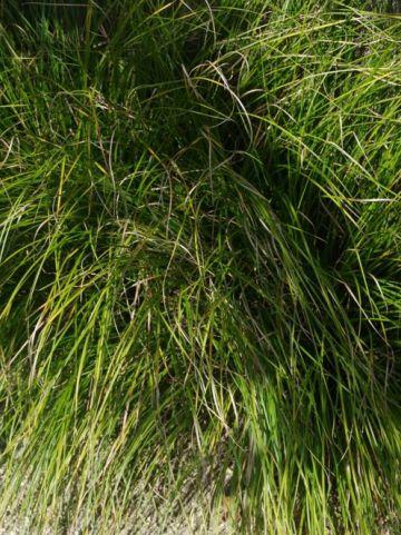 Carex  'Kyoto' - Zegge