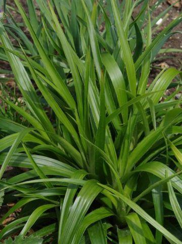 Carex plantaginea  - Breedbladige zegge