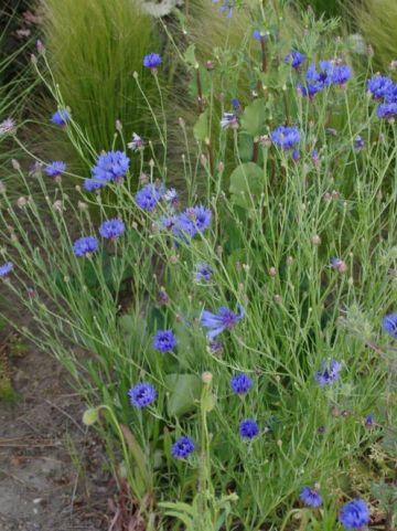 Catananche caerulea 'Major' - Blauwe strobloem