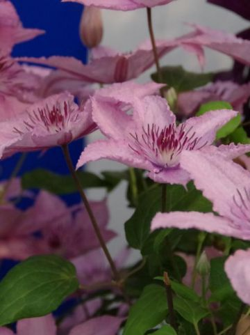 Clematis  'Pink Fantasy' - Grootbloemige bosrank