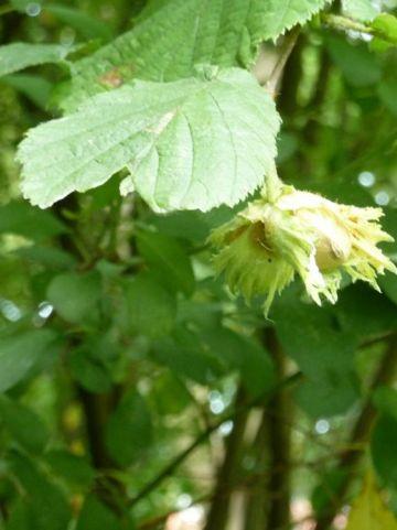 Corylus avellana  - Gewone hazelaar