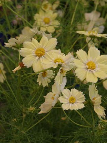 Cosmos bipinnatus 'Xanthos' - Cosmea