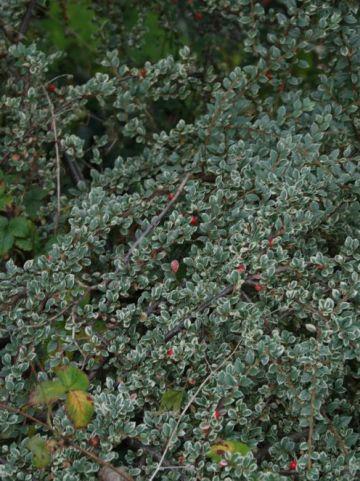 Cotoneaster atropurpureus 'Variegatus' - Bonte dwergmispel                  , Dwergmispel