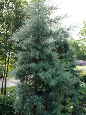 Cupressus arizonica 'Glauca' - Cypres