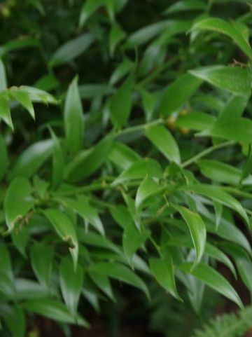 Danae racemosa  - Alexandrijnse Laurier