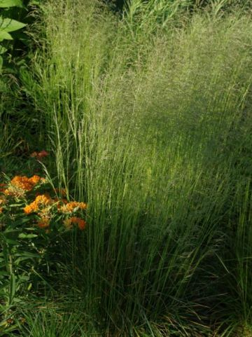 Deschampsia cespitosa 'Bronzeschleier' - Ruwe smele