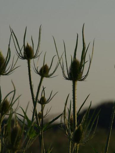Dipsacus fullonum  - Kaardebol