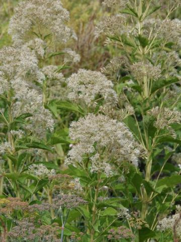 Eupatorium maculatum 'Ton ter Linden' - Leverkruid