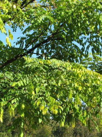 Gymnocladus dioica  - Doodsbeenderenboom