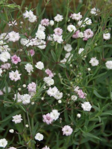Gypsophila  'Rosenschleier' - Gipskruid
