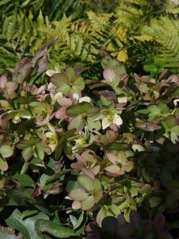 Helleborus × nigercors 'Anna' - Lenteroos