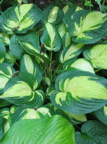 Hosta  'Reversed' - Hartlelie