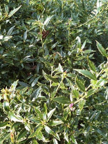 Ilex aquifolium 'Myrtifolia' - Fijnbladige hulst                  , Ananashulst