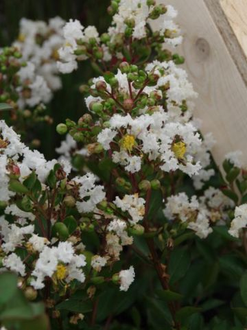Lagerstroemia indica 'With Love Virgin' (='MILABLA') -