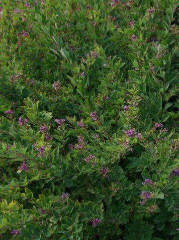 Lespedeza bicolor  -
