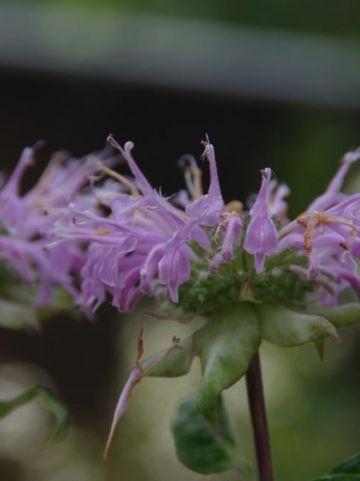 Monarda fistulosa  - Bergamotplant