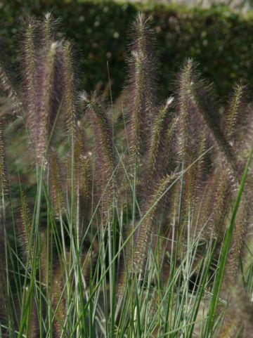 Pennisetum alopecuroides 'Herbstzauber' - Lampenpoetsersgras