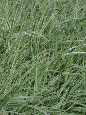Phalaris arundinacea 'Picta' - Gevlekt rietgras                   , Kanariegras