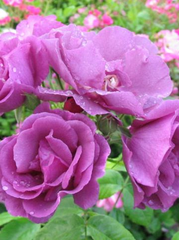 Rosa  'Rhapsody In Blue' (='Frantasia') - Trosroos