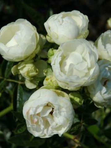 Rosa  'Snövit' - Trosroos