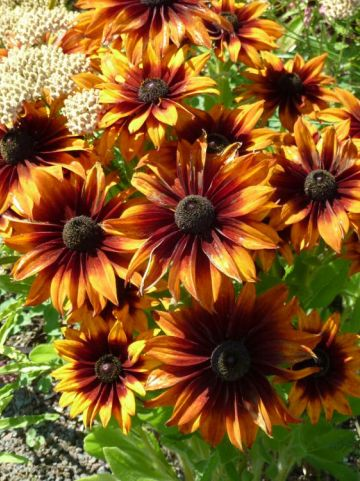 Rudbeckia  'Summerina Orange' (='ET RDB 01') -
