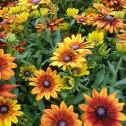 Rudbeckia  'Summerina Orange' (='ET RDB 01') -