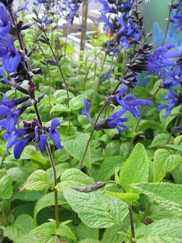Salvia guaranitica 'Black and Blue' -