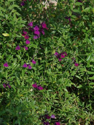 Salvia  'Nachtvlinder' - Salie