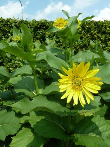 Silphium perfoliatum  - Zonnekroon                         , Kompasplant