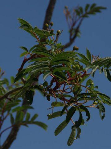 Sorbus aucuparia  - Gewone lijsterbes
