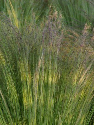 Stipa tenuissima 'Ponytails' - Vedergras