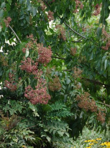 Tetradium daniellii hupehensis  - Bijenboom