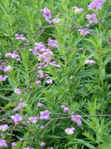 Thalictrum rochebrunianum  - Ruit