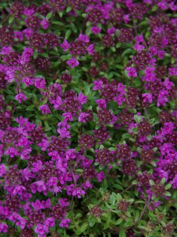 Thymus praecox 'Purple Beauty' - Kruiptijm