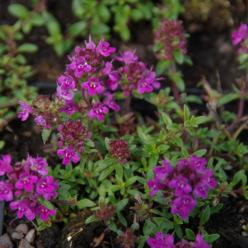 Thymus praecox 'Purple Beauty' - Kruiptijm
