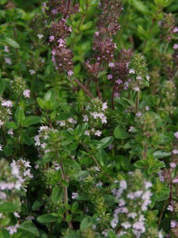 Thymus serpyllum  - Kruiptijm                          , Kleine wilde tijm