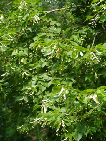 Tilia platyphyllos  - Grootbladige linde                 , Zomerlinde
