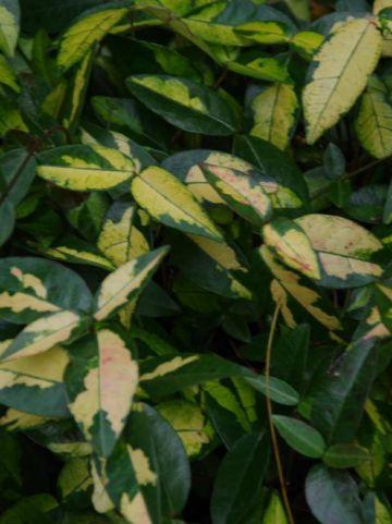 Trachelospermum asiaticum 'Ogon-nishiki' - Bontbladige sterjasmijn