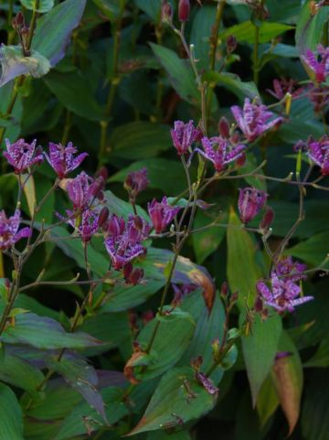Tricyrtis formosana 'Purple Beauty' - Arme-lui's orchidee