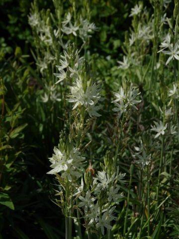 Camassia leichtlinii 'Sacajawea' - Prairielelie