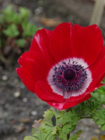 Anemone coronaria 'Hollandia' - Anemoon