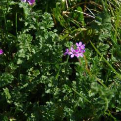 Erodium cicutarium  - Gewone reigersbek