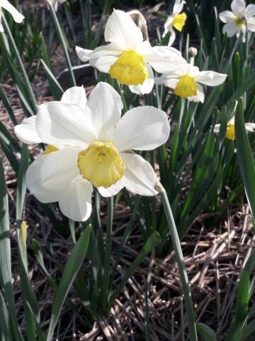 Narcissus  'Bernardino' - Narcis