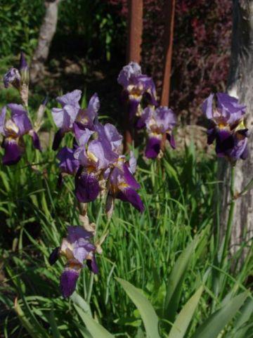 Iris  'Lent A. Williamson' - Baardiris                          , Duitse lis
