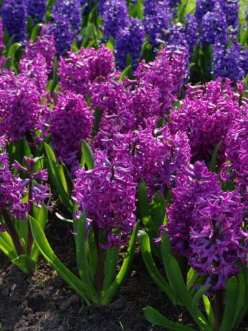 Hyacinthus orientalis 'Purple Sensation' - Hyacint