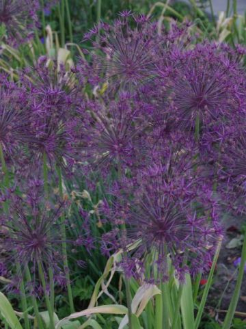 Allium  'Purple Rain' - Sierui