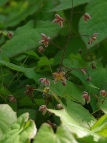 Epimedium alpinum  - Elfenbloem