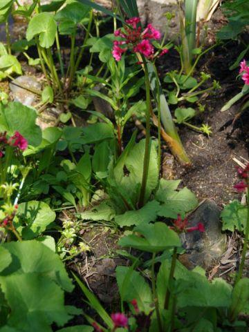 Primula japonica 'Carminea' - Etage sleutelbloem