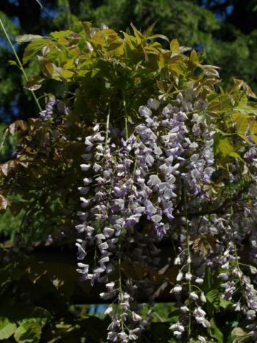Wisteria sinensis 'Texas Purple' - Blauwe regen